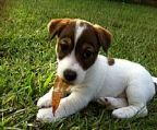 jack russell puppies sale