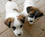 jack russell sale puppies