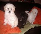 Beautiful white Toy Poodles