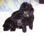 1 black male Poodles