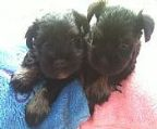 Two black and silver Schnauzer pups