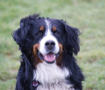 bernese breeder