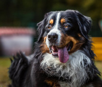 bernese mountain dog australia