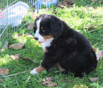 bernese puppies for sale