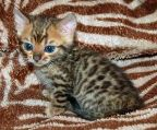 Male and Female Bengal Kittens.