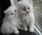 Male and female Persian kittens for adoption