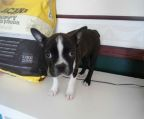 Beautiful Boston Terrier Puppy