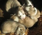 Beautiful submissive Siberian Husky puppies for sale