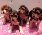 Puppies Beagles For sale